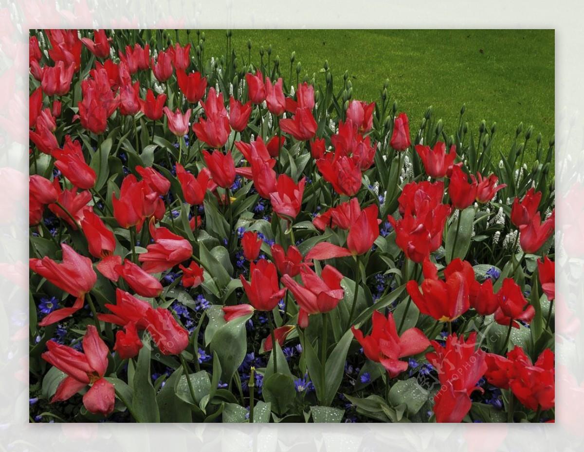 红色郁金香花海图片